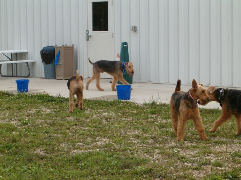 Airedales EVERYWHERE!!